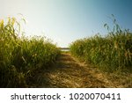 reeds in the path   Shutterstock . vector #1020070411