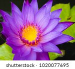 closeup of a vibrant purple...   Shutterstock . vector #1020077695