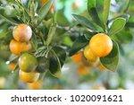 Small photo of Citrus Citrus Citrus