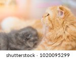 persian cats are the baby's... | Shutterstock . vector #1020095299