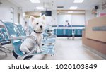Stock photo west high white terrier waiting for examination at the vet clinic 1020103849