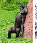 Stock photo the chimpanzee with headache 102010924