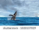 humpback whale breaching on... | Shutterstock . vector #1020137029