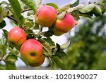 apples ripening in the orchard | Shutterstock . vector #1020190027