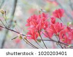 azaleas flowering shrubs in the ... | Shutterstock . vector #1020203401