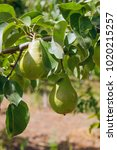 ripe pears on tree branch.... | Shutterstock . vector #1020215257