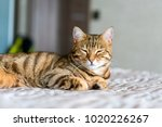 Stock photo cute bengal funny cat playing at home with small toys 1020226267