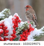 A Winter Male House Finch On A...