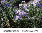 Small photo of Close view of pale violet flowers of Michaelmas daisies