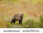 a brown or grizzly bear in... | Shutterstock . vector #1020290131