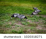 wild geese  barnacle geese... | Shutterstock . vector #1020318271