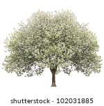 Apple Tree In Spring Isolated...