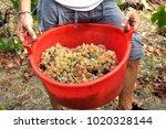 italy   winery   winemaking  ... | Shutterstock . vector #1020328144