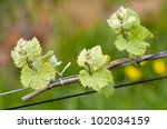 Spring buds sprouting on a grape vine in the vineyard - stock photo