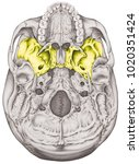 the sphenoid bone of the... | Shutterstock . vector #1020351424