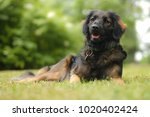 happy scruffy mix breed dog  at ... | Shutterstock . vector #1020402424
