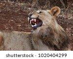 Male Lion Lying Down Roaring...