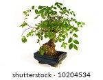 Bonsai  Little Green Tree On...