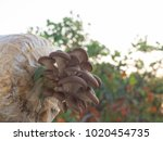 closeup fresh oyster mushroom ... | Shutterstock . vector #1020454735
