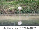 pink big bird greater flamingo  ...   Shutterstock . vector #1020461059