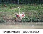 pink big bird greater flamingo  ...   Shutterstock . vector #1020461065