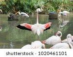 pink big bird greater flamingo  ...   Shutterstock . vector #1020461101