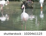 pink big bird greater flamingo  ...   Shutterstock . vector #1020461125