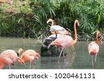 pink big bird greater flamingo  ...   Shutterstock . vector #1020461131