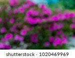 defocused bush azaleas... | Shutterstock . vector #1020469969