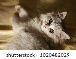 cat lying on sofa scene.   Shutterstock . vector #1020482029
