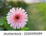 pink gerbera flower | Shutterstock . vector #1020490399