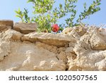 pomegranate tree branches... | Shutterstock . vector #1020507565
