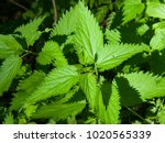 Common Or Stinging Nettle ...