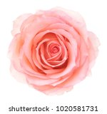 pink rose. deep focus. no dust. ... | Shutterstock . vector #1020581731