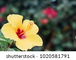 cheery yellow hibiscus with... | Shutterstock . vector #1020581791