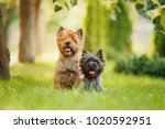 Couple Of Cairn Terriers...