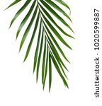 green leaf of palm isolate on... | Shutterstock . vector #1020599887