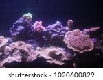 Small photo of Pink Stylophora sps coral