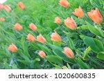 pink tulip flowerbed | Shutterstock . vector #1020600835