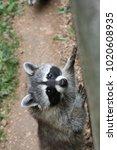 Small photo of Raccoon in zoo, Procyon lotor, wild racoon standing in habitat