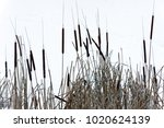 Dry Reeds Near The Winter Lake...
