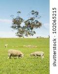 Sheep Grazing In A Grassy Fiel...