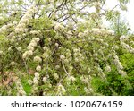 apple tree closeup with white... | Shutterstock . vector #1020676159