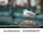 Young Seagull  Chroicocephalus...