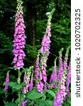 Some Common Foxgloves Blooming...
