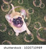 cute chihuahua pug mix puppy... | Shutterstock . vector #1020710989
