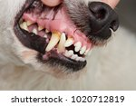 Dog Teeth With Cavities Close...