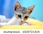 Stock photo a kitten playing with a pillow 1020721324