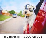 west highland white terrier... | Shutterstock . vector #1020726931