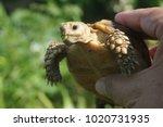 tortoise on the hands of man ... | Shutterstock . vector #1020731935
